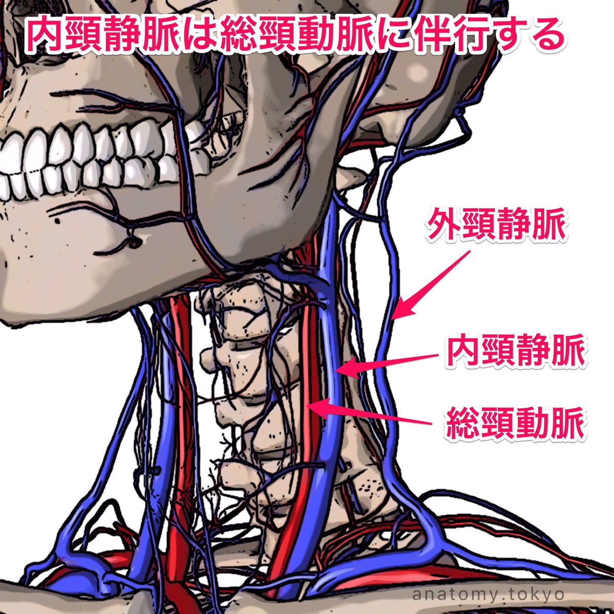 動脈 総 頸
