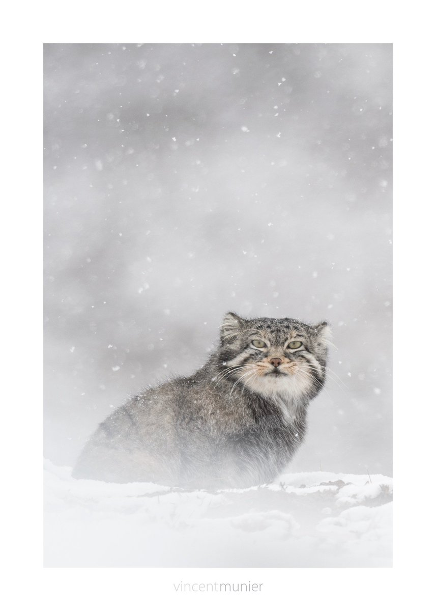Vincent Munier on Twitter: \