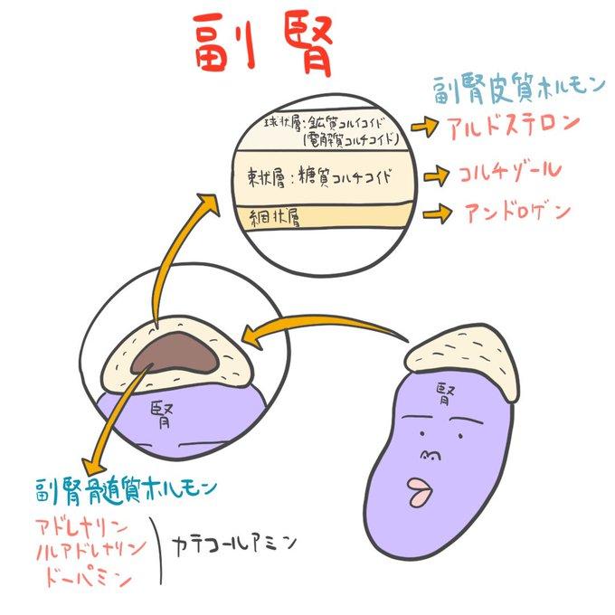 ホルモン 副腎 ゴロ 皮質 視床下部から出るホルモン5つ。【簡単ゴロ合わせ】覚え方。