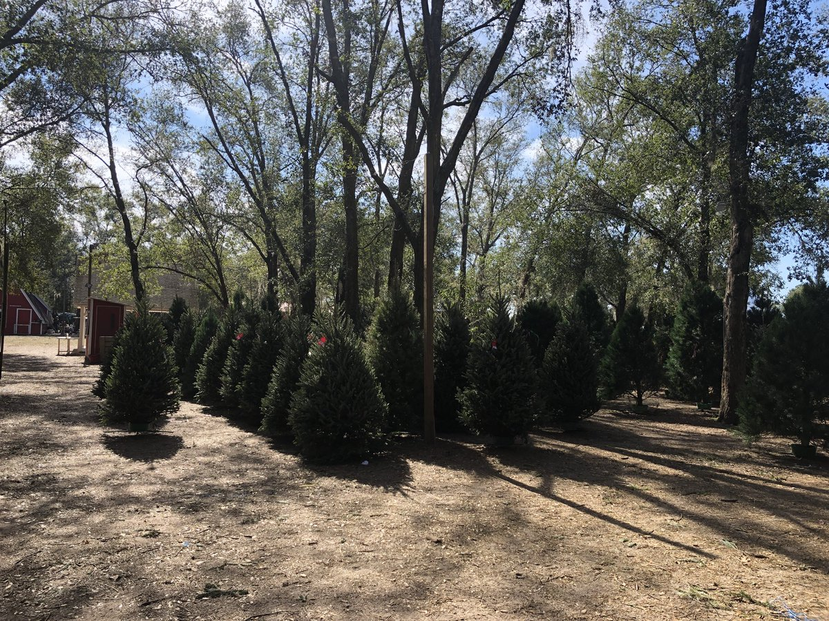 cierra putman on twitter national christmas tree association says theres a shortage in trees this year thats linked to a drop in sea during the