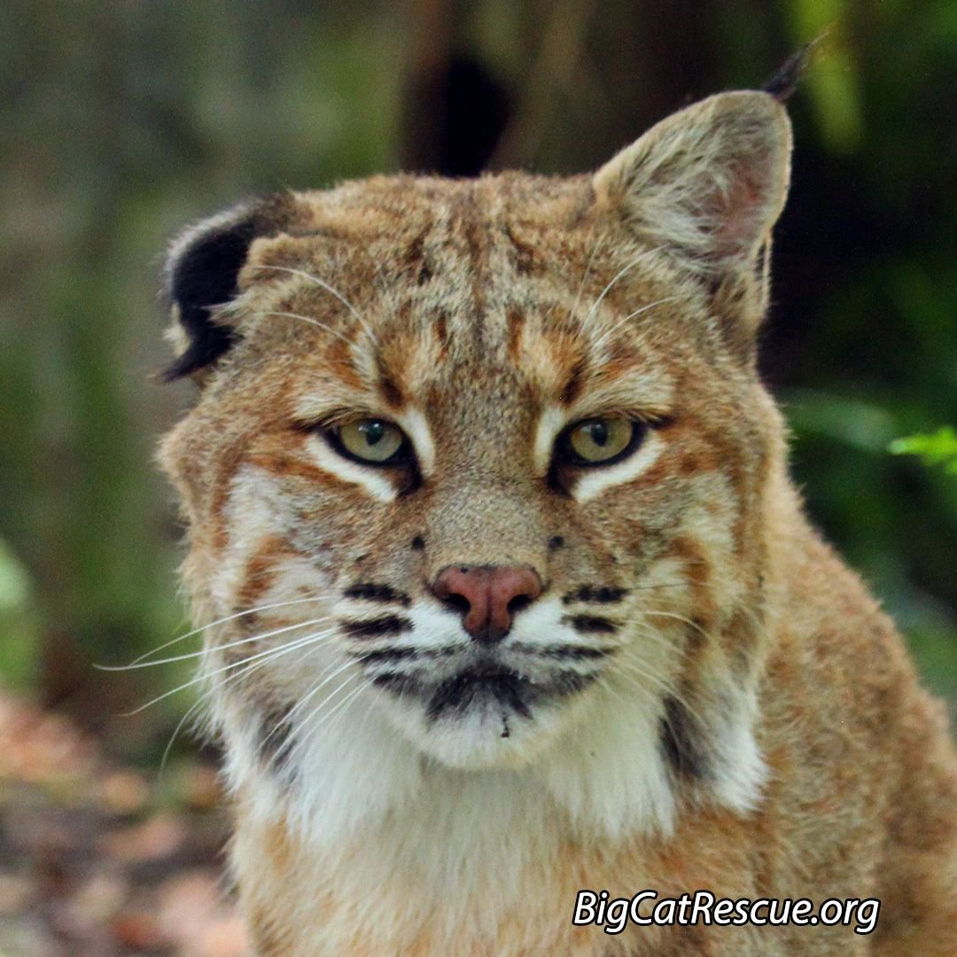 Big Cat Rescue on Twitter: