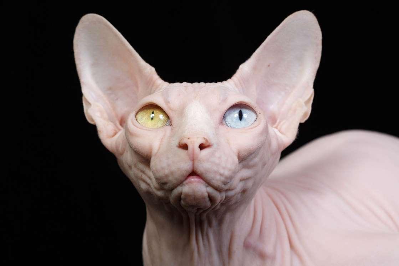 Msn Arabia Sur Twitter سفينكس هي سلالة قطط بدون شعر لها أصل روسي حيث بدءت السلالة في عام 1966و يتميز بالذكاء الحاد