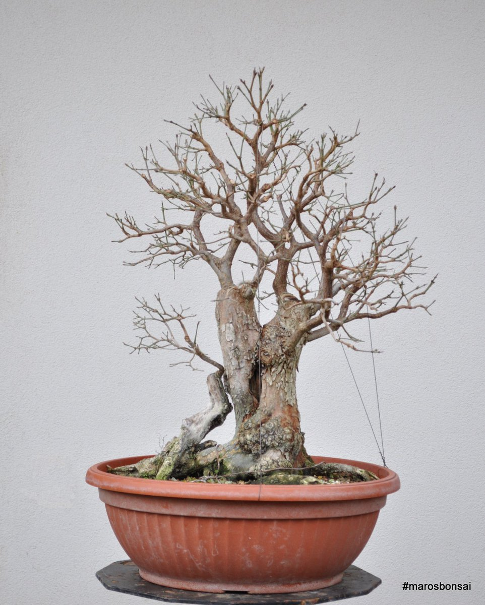 Maros Bonsai On Twitter Dogwood Bonsai After Editing Marosbonsai Bonsaitree Dogwood Cornus Cornusmas Https T Co W9bskb2uf8