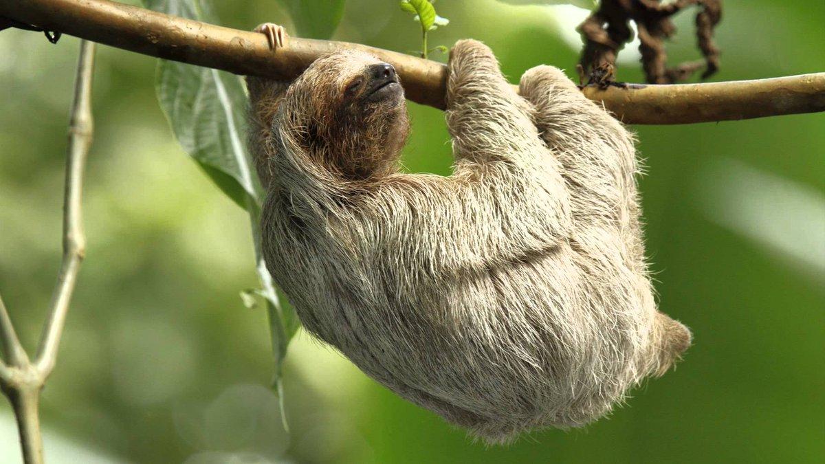 สลอธ (Sloth) ขึ้นชื่อว่า จอมขี้เกียจ  เพ...