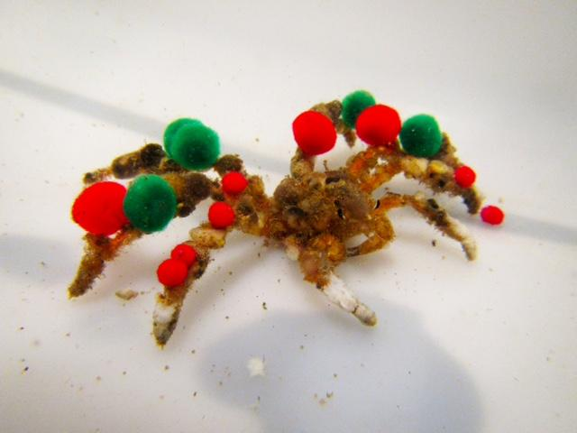 Decorator crabs usually adorn themselves with sponges and algae, but when presented with red and green pom-poms by scientists, that's what they'll use. (Image: University of Delaware)