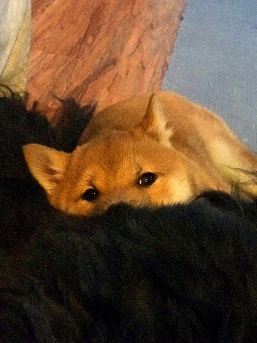 My shiba loves to lay in the fur of my o...