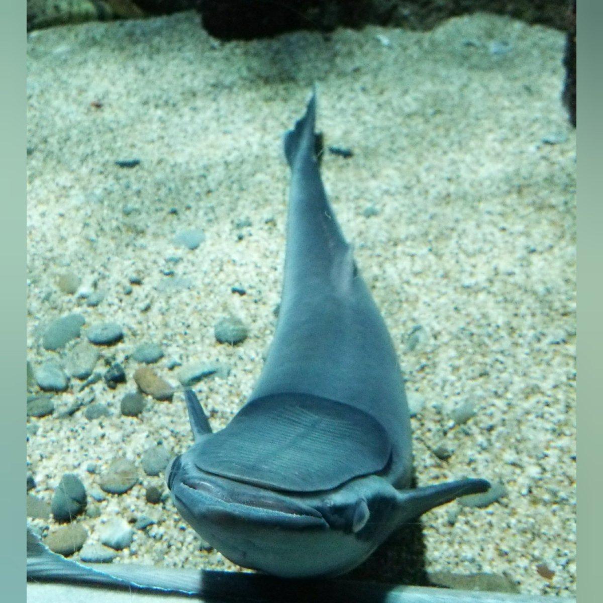 コバンザメ 吸盤