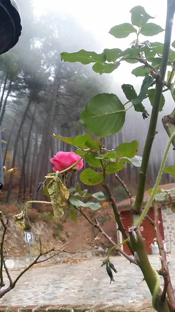 P de primavera que se cuela en la niebla del pinar. #MisFotos #MundoRural #FlorecerYProsperar