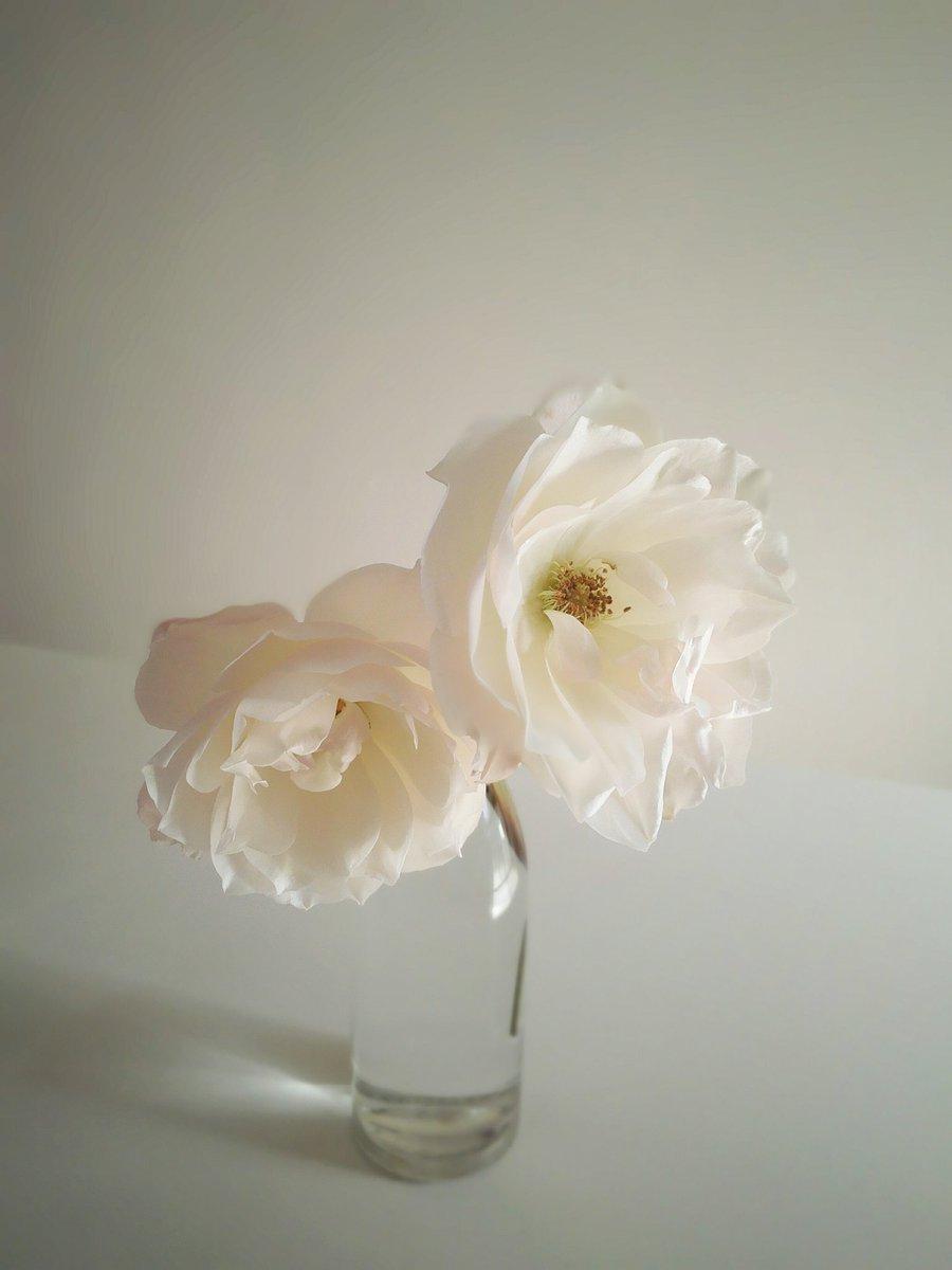 RT @Yoshimasa_Tsu: バラ「アイスバーグ」 氷山の名のとおり真っ白い花がたくさん咲く品種ですが、気温が低いと微かにピンクがかってきます。かじかんた手みたいです。 https://t.co/UeKJeloplK