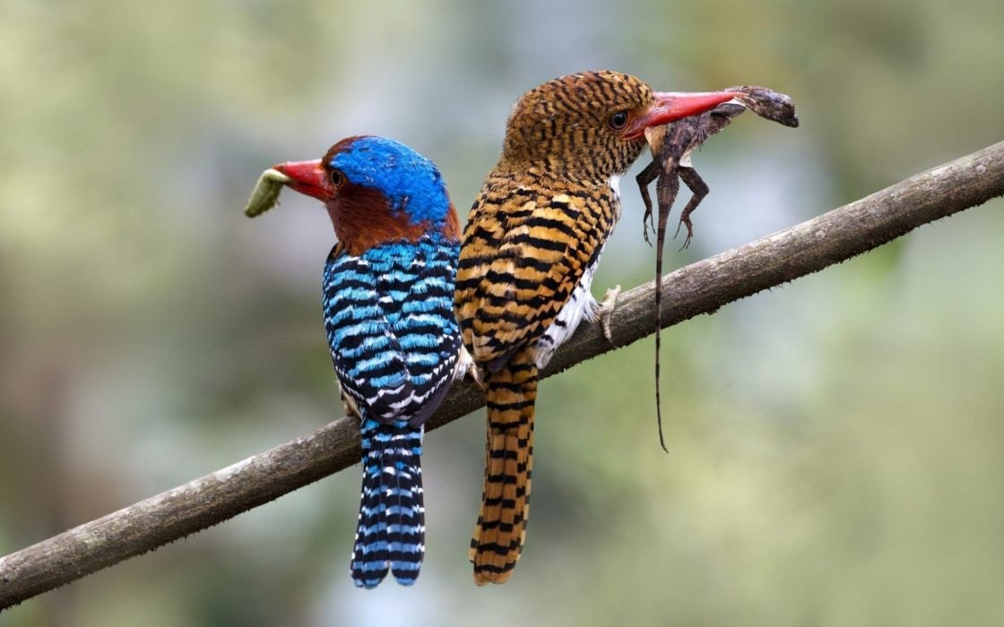 Banded Kingfisher (Lacedo pulchella) #painting #art <br>http://pic.twitter.com/s2PEJGkFD3