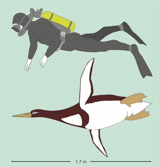 【史上最大級】人間と同じサイズ、新種ペンギンの化石が発見される https://t.co/3BhoqAFWRB  発見された骨格には161mmの大腿骨が含まれており、体長は177cmと推定。研究者は「それほど可愛い姿ではなかったと思う」と述べた。