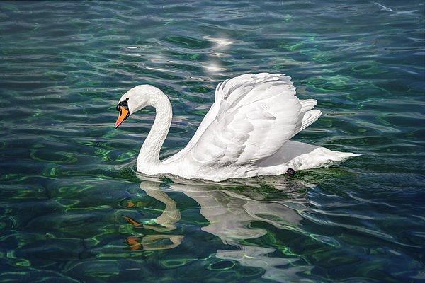 New artwork for sale! - 'Swan on Lake Ge...