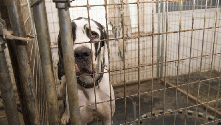 GUILTY: Woman who let 84 Great Danes live in filth https://t.co/Yl5HfMTfTN
