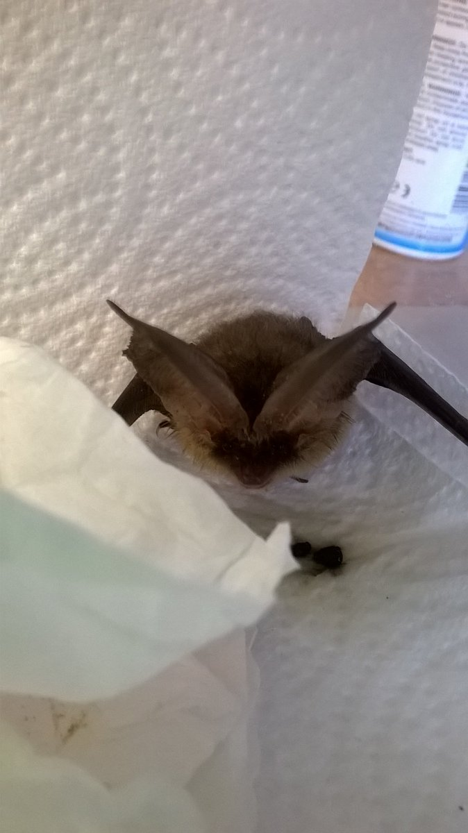 test Twitter Media - We had a long eared bat in a while ago who was found in a sand pit very hungry and dehydrated. We kept the bat in until it put on enough weight and then it was released back to where it came from https://t.co/r9pyhRTBPs