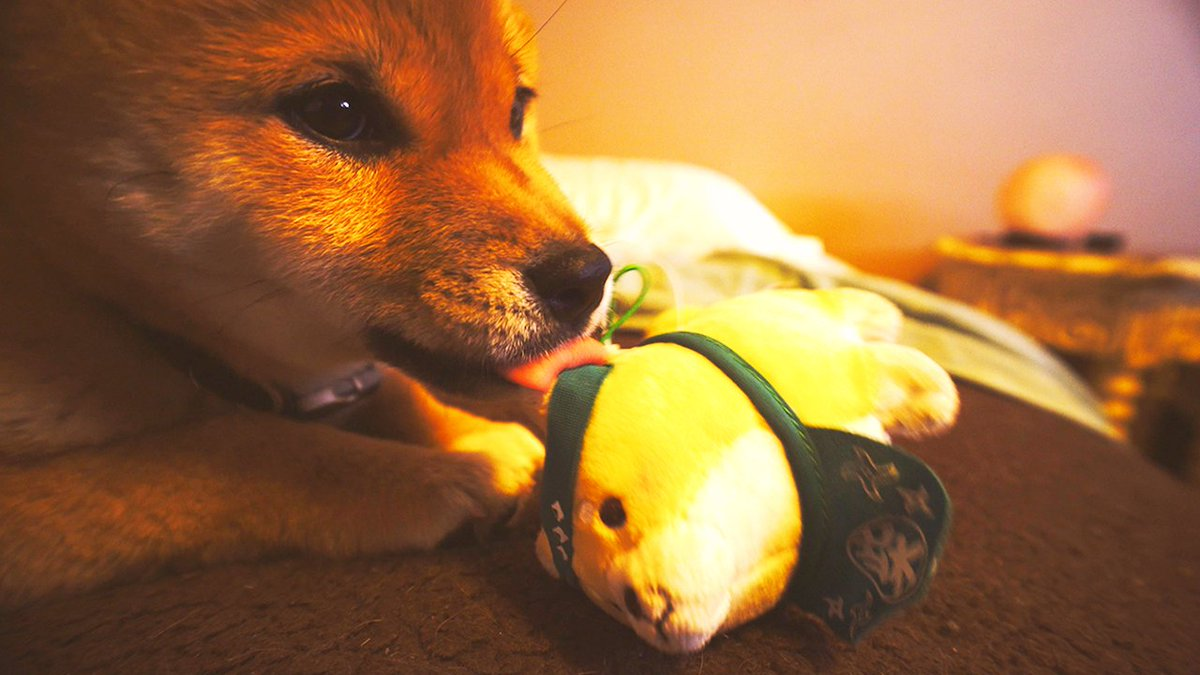 here's a vlog vid about my shiba https:/...