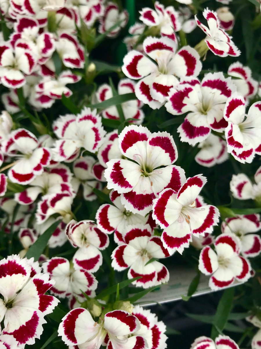Jimmy turner on twitter dianthus olivia from hilverdakooijbv a dianthus olivia from hilverdakooijbv a compact flowering pot crop love the red splashes to the white super scented flowers should be a good perennial izmirmasajfo