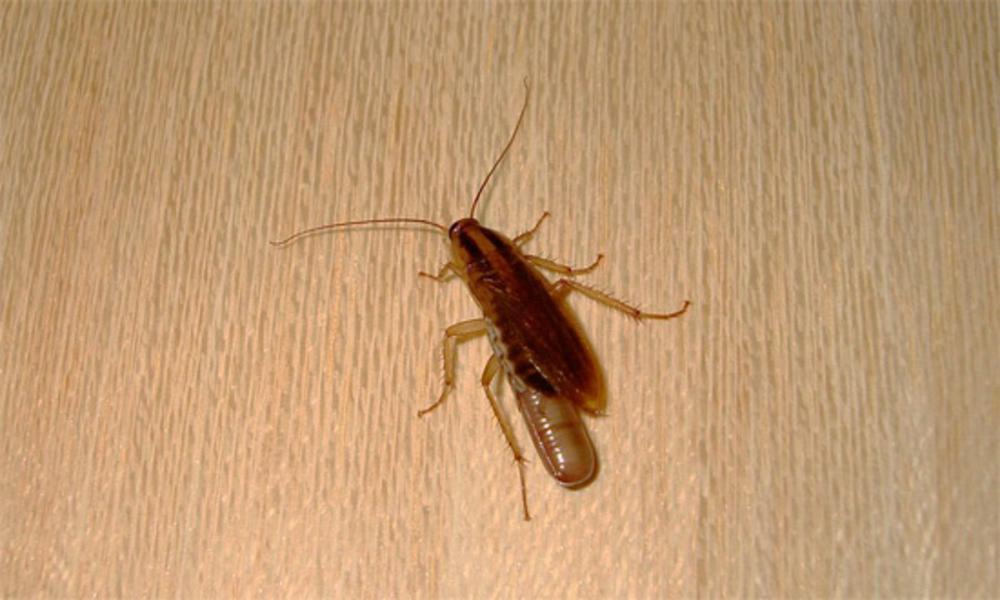 плитняк кокон таракана фото гостями огородов становятся