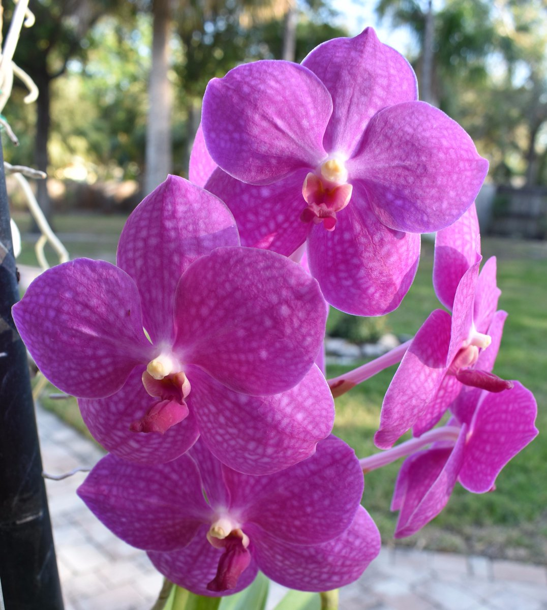 Purple orchid flowers meaning flowers healthy orchid flower meaning in hindi thin mightylinksfo