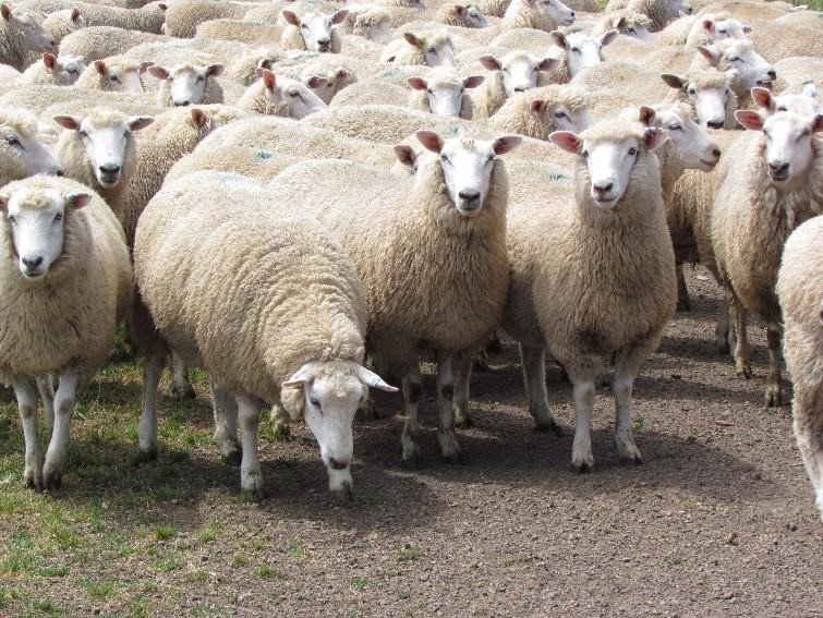 Cashmore Oaklea and Clients Ewe and Lamb Sale on @AuctionsPlus December 5 th, 12 noon,10,300 ewes. Regards JK