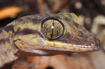 A karst loving gecko from New Guinea revealed.  Locals don't like them at all.