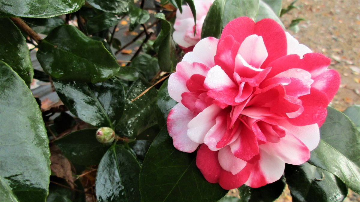 Governor Mouton Camellia In Bloom