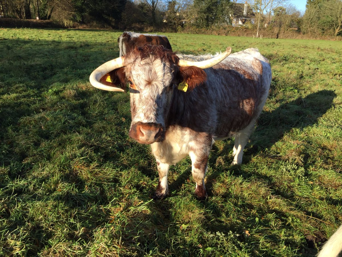 Say hello to Norma Jean! Another founding member of the Loseley #Longhorn #beef herd. She has unusual horns which add to her film star good-looks and make her easy to recognise! #lowinputfarming #grassfed #cattlereturntoloseley #farmshop #exceptionalbeef @SurreyLife @VisitSurrey