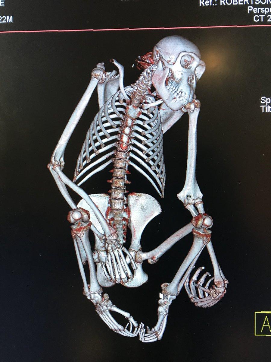 Chimpanzee entire body CT scanning