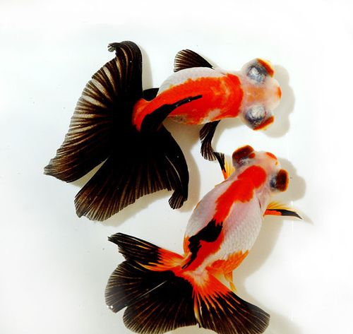 Aquarium talks on twitter butterfly telescope goldfish for Fish for sale near me