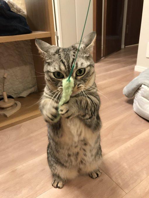 猫 画像 cat image ごましおよ、せっかく立っちできたのに何故すぐコロンするのだ(´ω`)