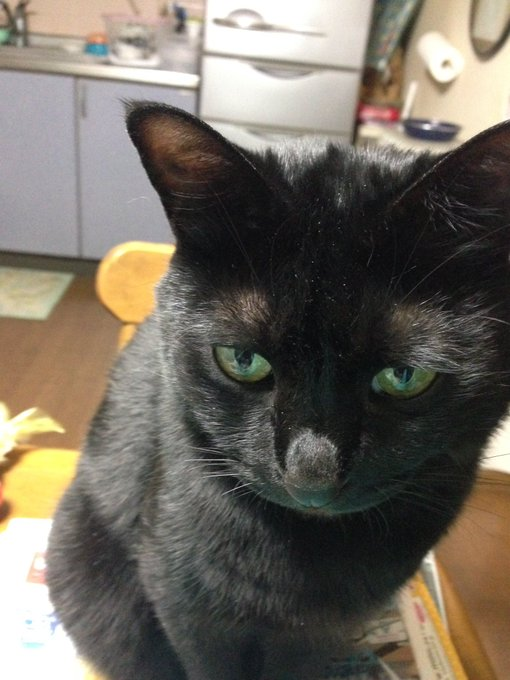 猫 画像 cat image 迷子猫 12月5日の夜7時頃に北名古屋市熊之庄八幡付近で自宅から逃げました。わりと小柄で丸い尻尾の黒猫です。チビと言います。 見かけた方はご連絡お願いします。