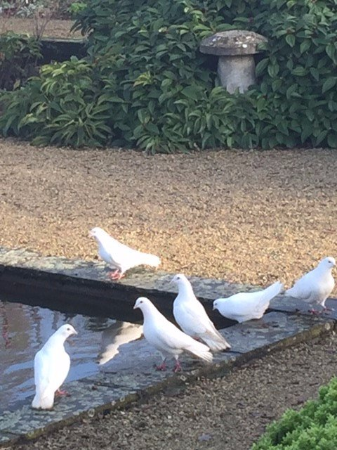Appropriately enough, these doves were spotted in the White Garden yesterday!