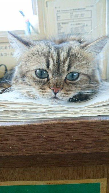 猫 画像 cat image 【今日のにゃんこ】  ぺっちゃんこな妖怪猫だるま  カンパチ