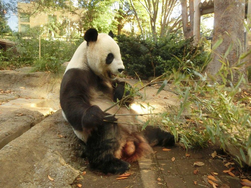 おはようございます。 リーリーです。 本日も竹を爆食いです。  #上野動物園 #ジャイアントパンダ …