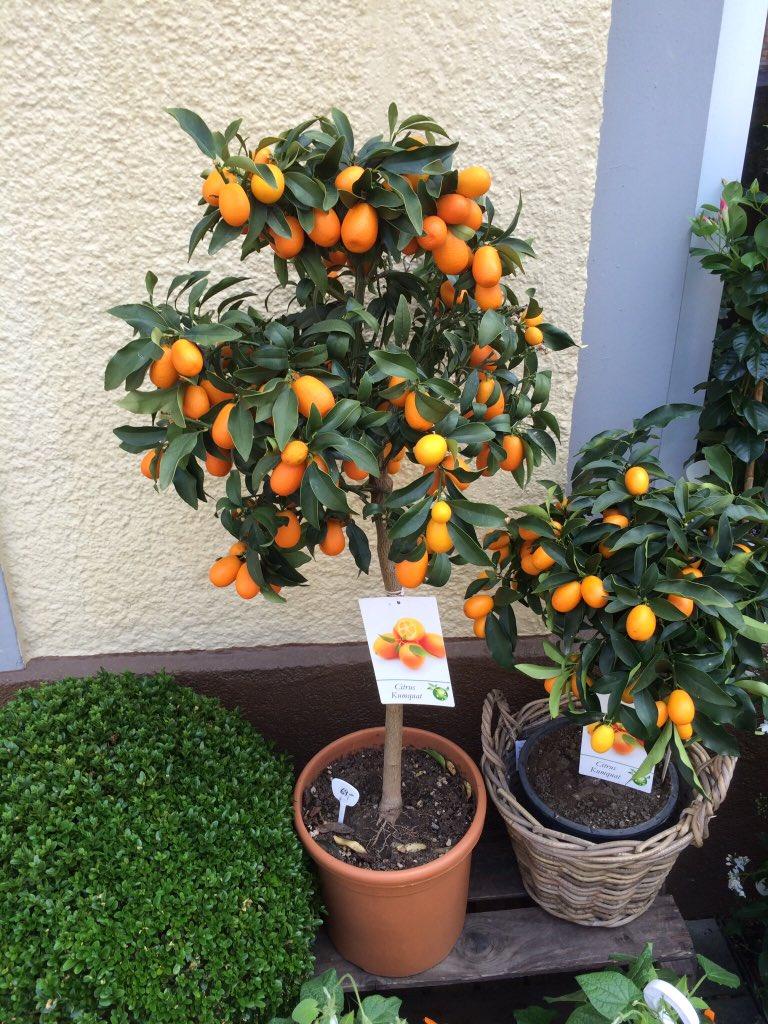 د مزارع V Twitter الكيموكوات برتقال صغير يسمى البرتقال الياباني يؤكل بقشره والليموكوات يسمى الليمون الصيني صغير الحجم كثيف الانتاج حسب معرفتي Https T Co Qcrckiqush