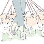 柴犬たくさん飼いたいけど、散歩中にみんなに引っ張られたら嫌になるかもw