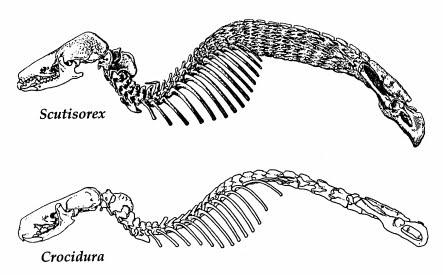 「車に轢かれても潰れない」なんて噂もある、ヨロイジネズミの骨格。2つ並んでるのは、上がヨロイジネズミ…