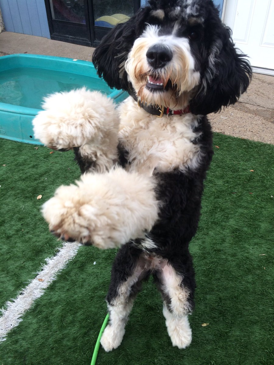 Whatley Bernedoodle At Wbernedoodle Twitter