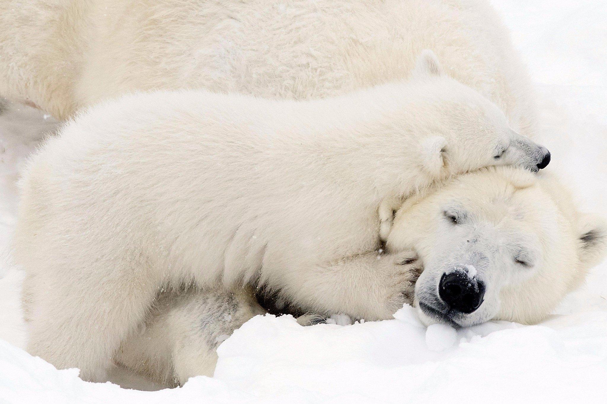 Ромашки, картинки белые медвежата и мама