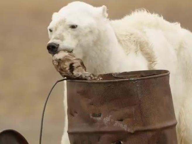 L'orso polare che muore di fame per il riscaldamento globale https://t.co/3EY0GKgbrp