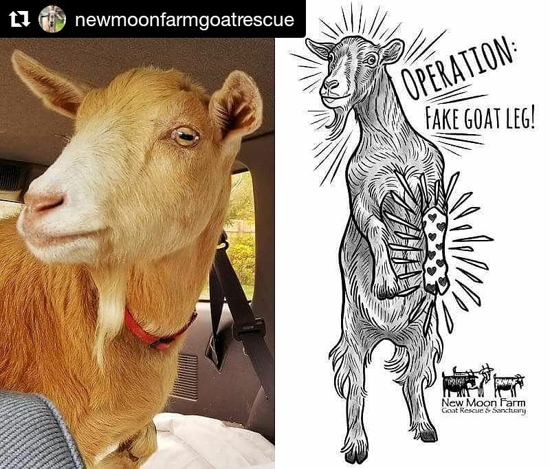 George wants a new leg for #christmas! Pass it on ♥️ newmoonfarm.org #adoptdontshop #goats #AnimalRescue