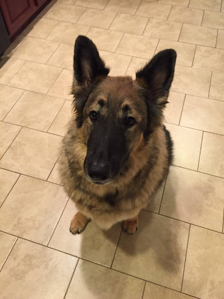 Beautiful Roxie is looking for a very special home!  http:// fb.me/1QYbTHi1z  &nbsp;   #GSD @SGSRescue #VA #NC #MD #adopt <br>http://pic.twitter.com/sbBQ9GlGrk