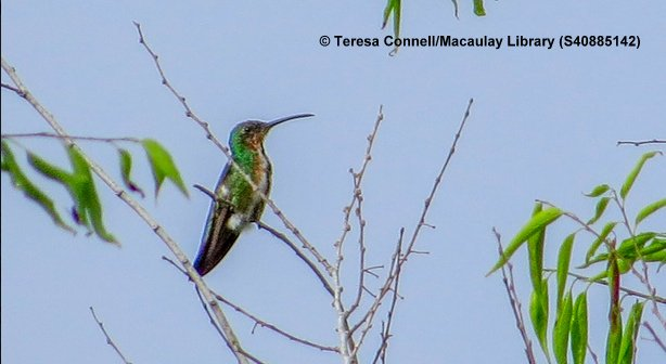 Green Breasted Mango In Texas Highlights This Weeks Roundup Of Rare Birds At The ABA Blog Along With 1sts For Newfoundland And Alabama
