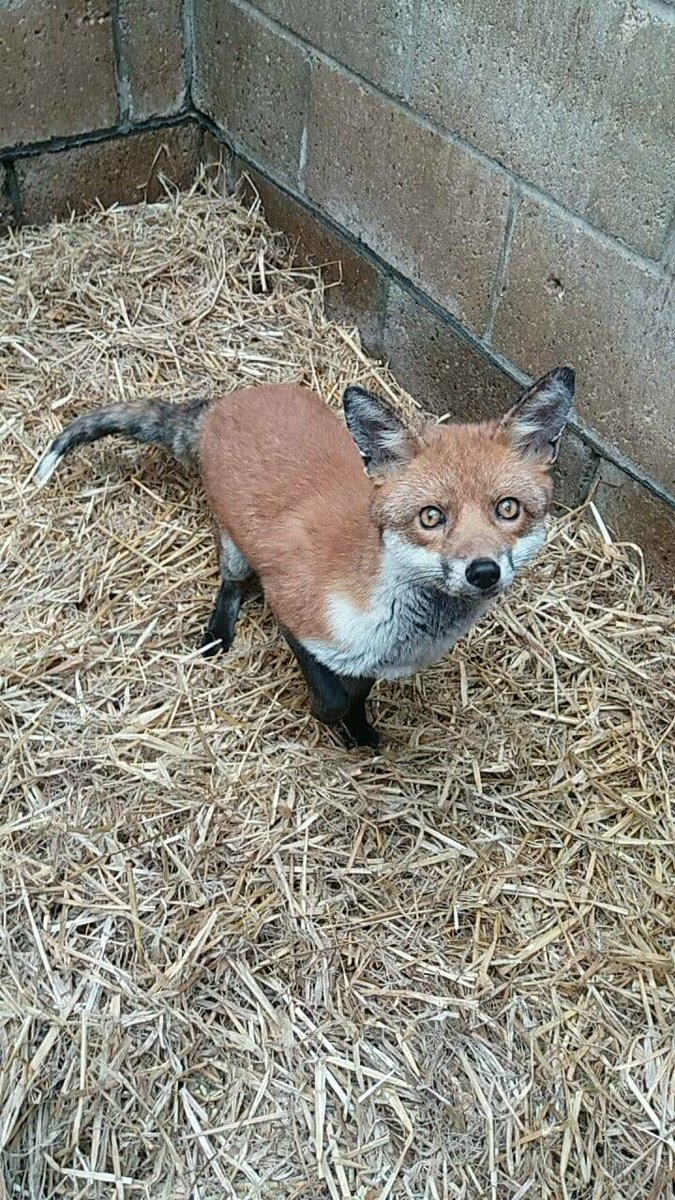 test Twitter Media - This fox came in with mange and barely any fur, he is now very handsome and has managed to grow his fur back ready for the cold of winter and is soon to be released #foxyfriday https://t.co/dpM4PMesmj