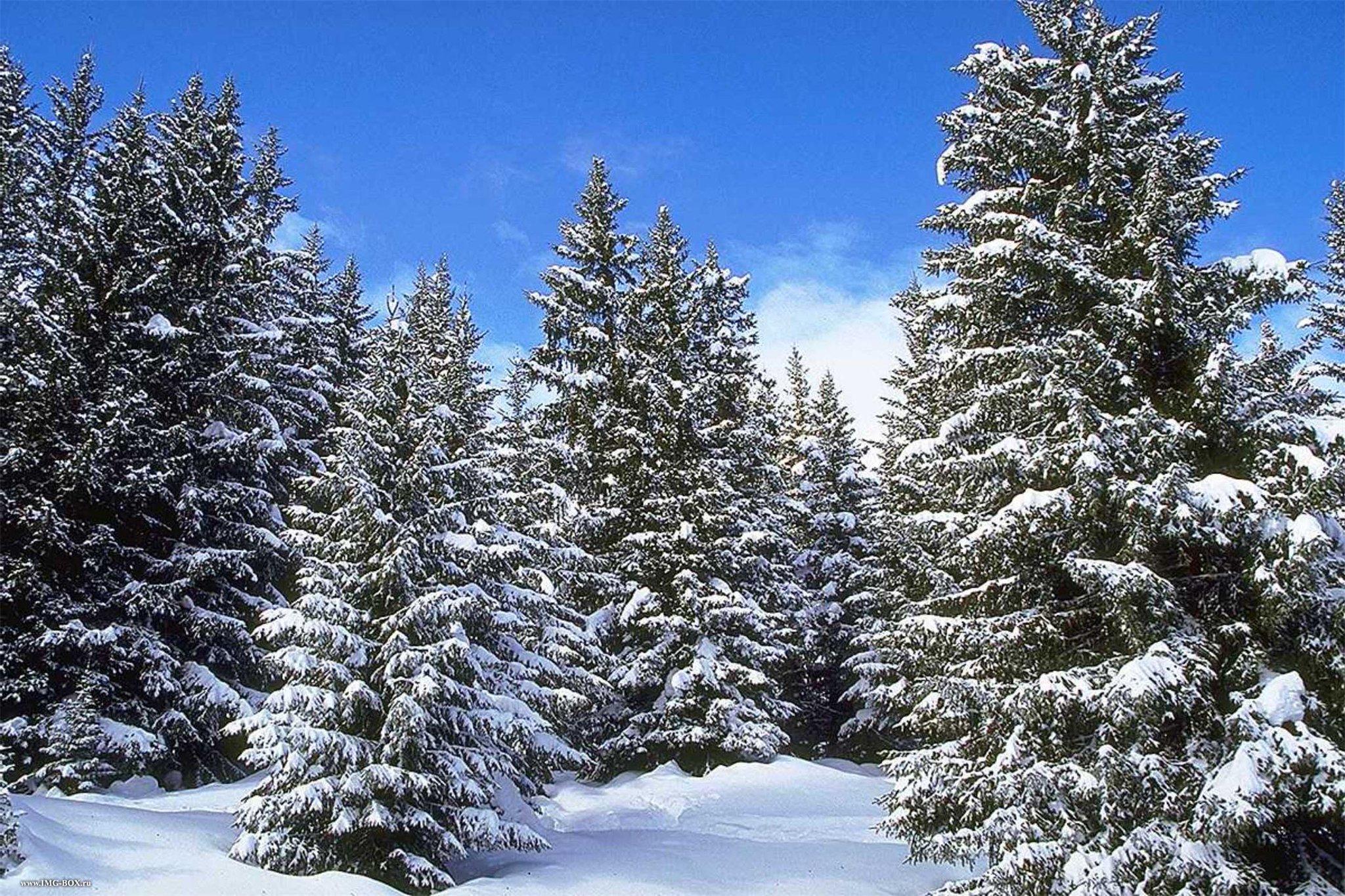 Картинки елочки зимой
