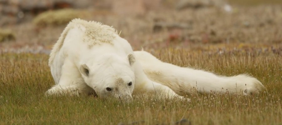 Image result for Graban la agonía de un oso polar hambriento para concienciar sobre el calentamiento global