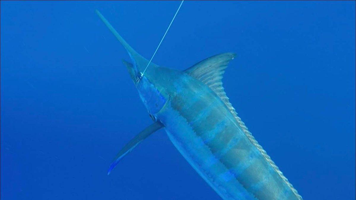 Rio de Janeiro, Brazil - Capt. Igor Assad and Zoom fishing Team went 6-7 on Blue Marlin (850,800) and 1-1 on Sailfish.