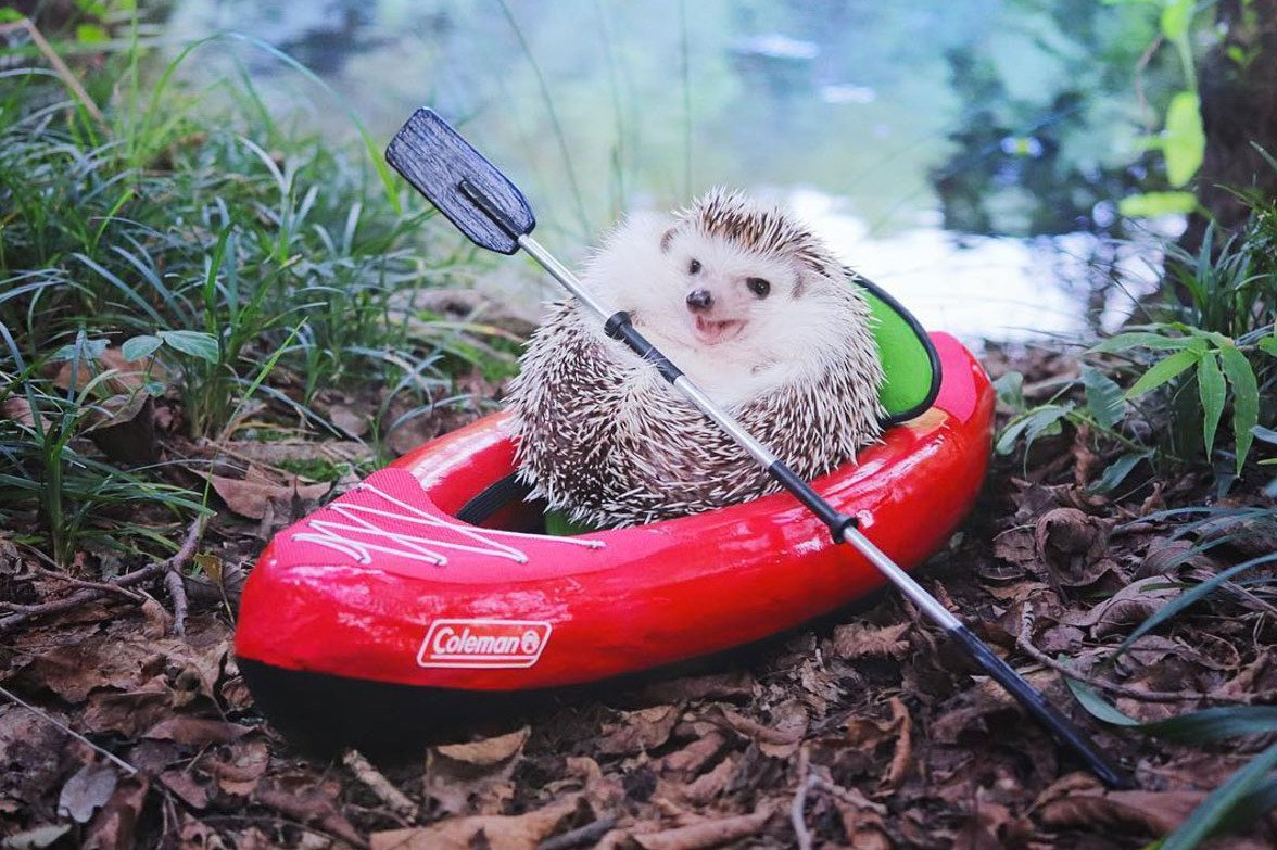 Just discovered hedgehog_azuki on Instagram and life is wonderful ❤️ https://t.co/mdwPSBHAEd
