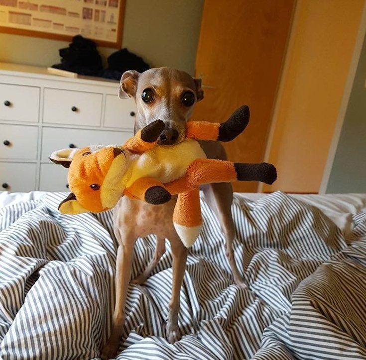 Min hund har tappat bort sin bästis Räven och är nu mycket olycklig. Har någon en sån här liten Ikea-räv hemma som jag kan köpa av er? Help this dogo out! https://t.co/j30RVanxDe