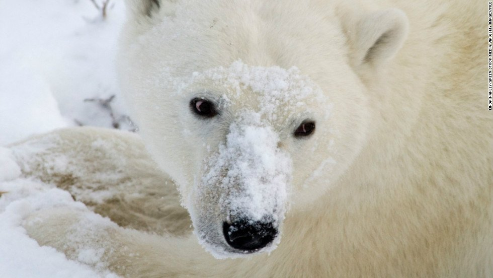 La dramática imagen de un oso polar muriendo de hambre en un Ártico sin nieve https://t.co/g2B9KcU4Hf