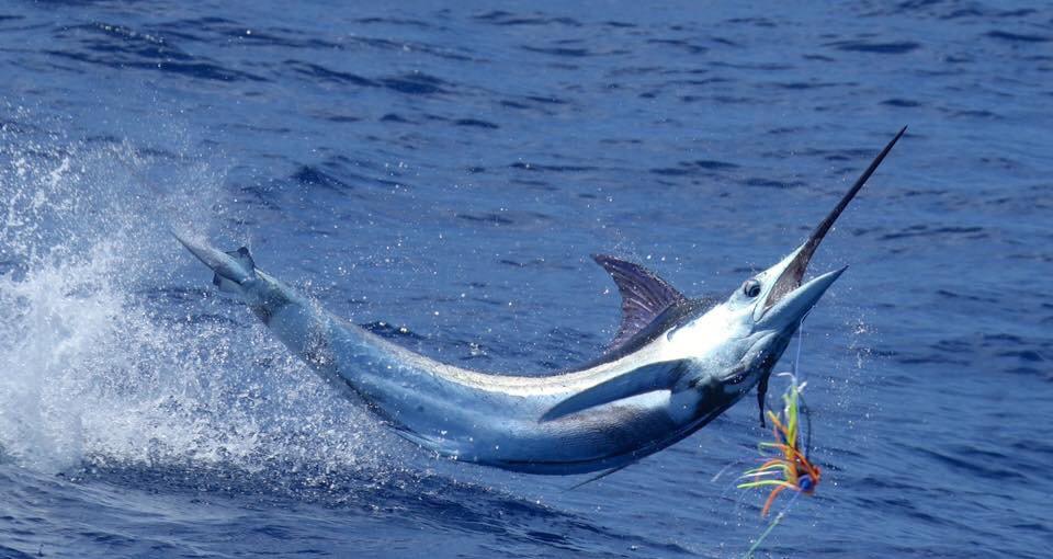 Exmouth, Aus - Peak Sportfishing went 8-13 on Blue Marlin, 1-1 on Striped Marlin and 0-1 on Black Marlin.